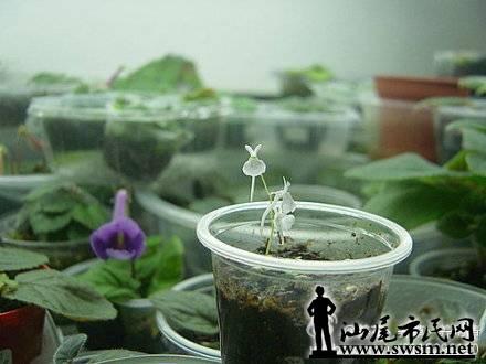 小白兔狸藻 狸藻是具有可活动囊状捕虫结构的小型食虫植物,能将小