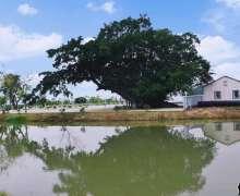 七百多年的古榕树